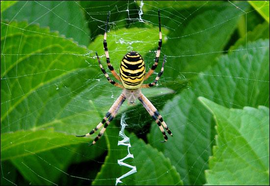 aranhas amarelas